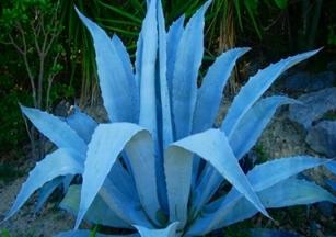 Blue-Agave-Nectar